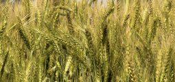 wheat-5011263_1920